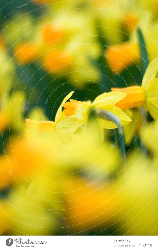 Narcissus and Goldmouth Wild daffodil Flower Blossom Plant Yellow Green Spring Spring flowering plant March Mother's Day Background picture April May