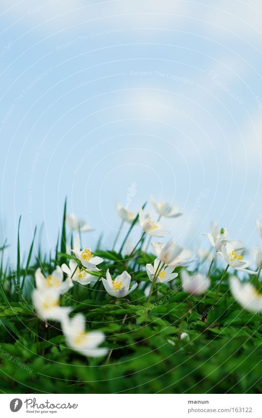 spring Spring Salutation Delivery person Fresh Bright Beautiful weather Happiness Anemone Background picture Meadow Forest flower Flower Blossom