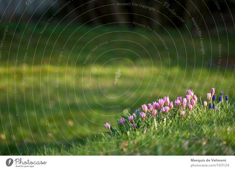 Flower Green Spring Garden Park Room Deep Crocus Spring flowering plant