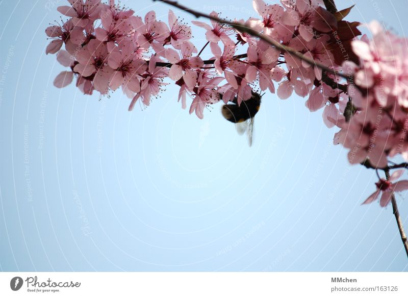 Natural fertilization Spring Blossom Blossoming Tree Branch Bumble bee Nectar Buzz Sky Azure blue Blue Pink