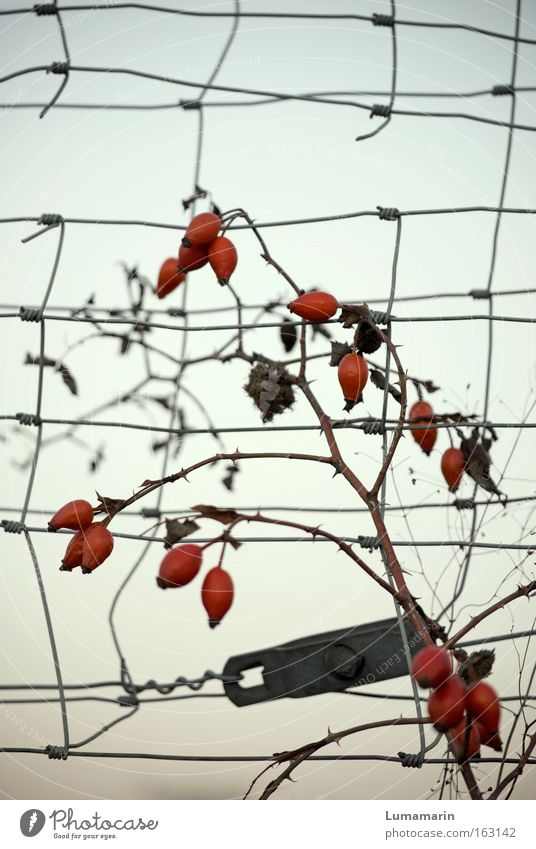 Beautiful Power Fruit Wild Free Growth Longing Fence Mature Wire Grid Boundary Rose hip Berries Tenacious
