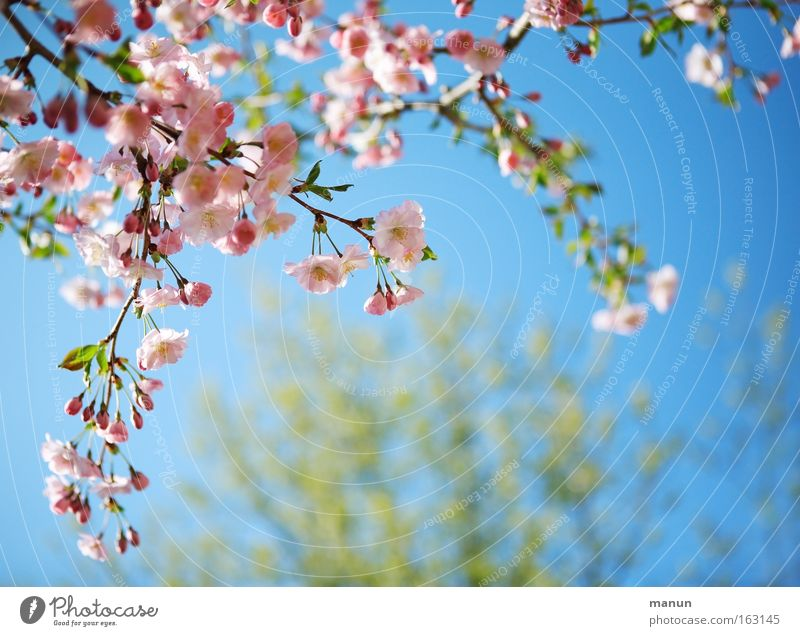 sunny prospects Spring Blossom Cherry Cherry tree Ornamental cherry Cherry blossom Warmth Warm-heartedness White Pink Blue Weather Branch Horticulture