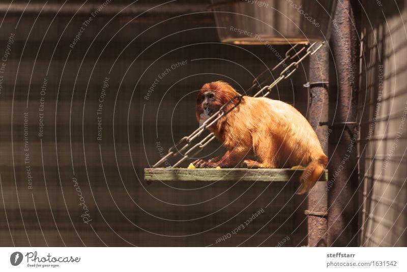 Golden Lion Tamarin Leontopithecus rosalia monkey Nature Red Animal Wild animal Gold Zoo