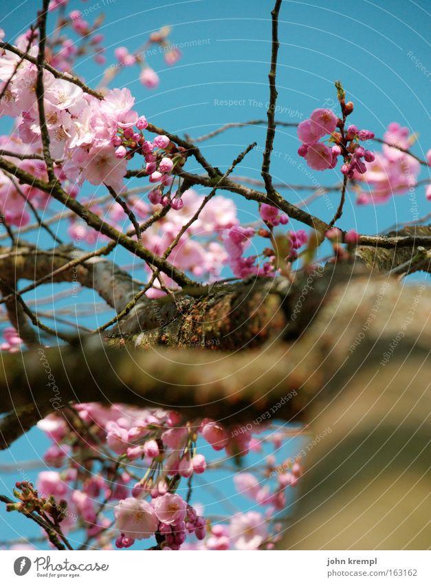 Sky Blue Beautiful Spring Blossom Pink Park Blossoming Bud Ornamental cherry