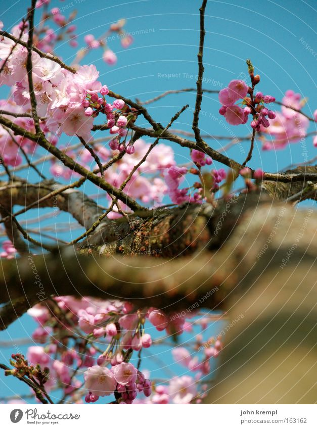 yes, panicky deer Ornamental cherry Blossom Bud Spring Blossoming Sky Blue Pink Park Beautiful