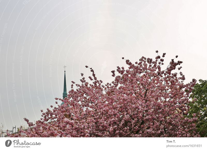 Prenzlauer Berg Berlin Town Capital city Downtown Old town Religion and faith Church Tree Blossom Spring Colour photo Exterior shot Deserted Day