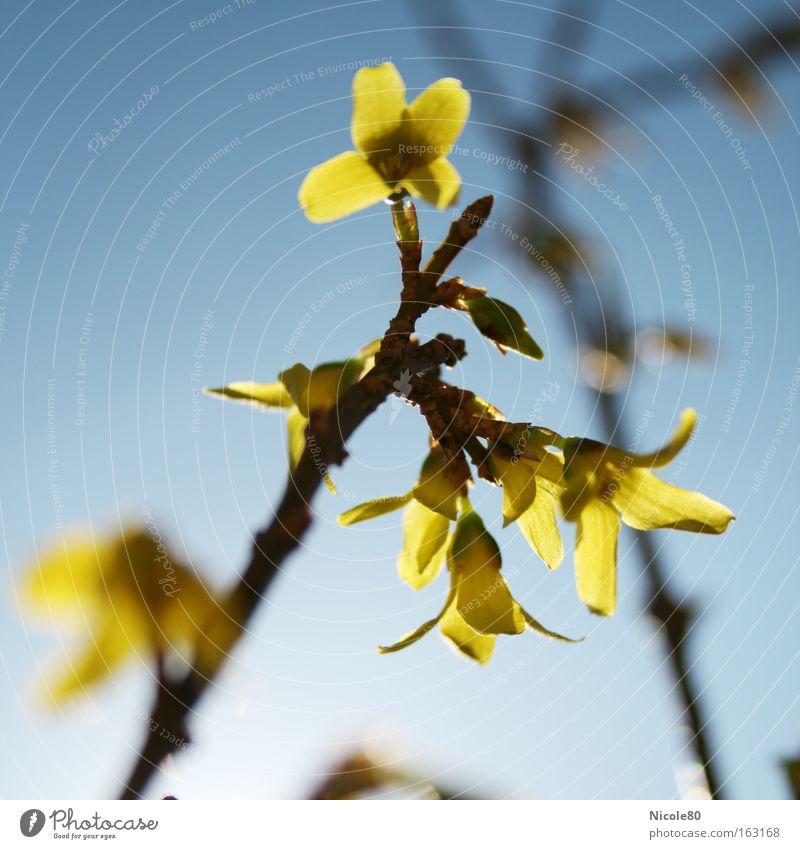 gold bell Nature Spring Blossom Yellow Gold Forsythia Twig Spring flowering plant ornamental shrub yellow blossoms focus gradient Colour photo Close-up