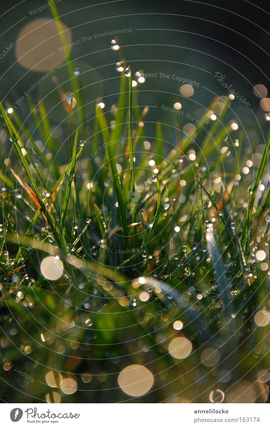 Green Spring Meadow Grass Rain Glittering Fresh Drops of water Wet Lawn Dew Sunrise