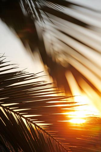 In the morning in paradise Nature Concentrate Power Sun Sunrise Paradise Paradisical Palm tree Palm frond Palm leaf wallpaper Sunbeam Hot Fuerteventura Idyll
