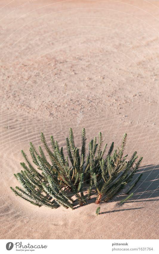 desert green Environment Nature Esthetic Under Life Survive Dry Green Desert Desert plant Growth Warmth Sand Sahara Plant Gloomy Loneliness Badlands