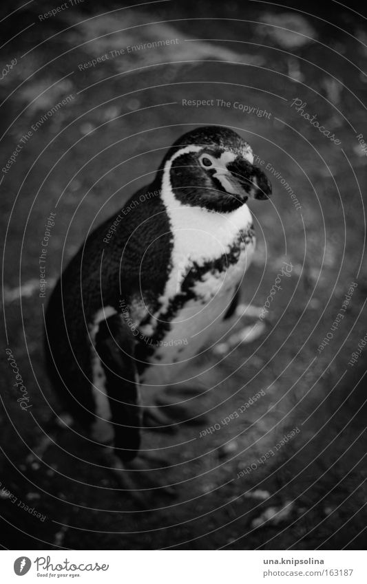 pi-pa-penguin Zoo Animal Ice Frost Suit Bird Cold Penguin South Pole Captured Tails Tuxedo Black & white photo