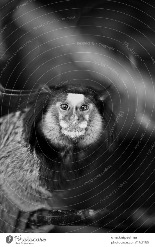 bi-ba-tufted monkey Zoo Animal Pelt Dark Monkeys Young monkey Apes Brazil Captured Eyes Nose Ear Mammal Black & white photo