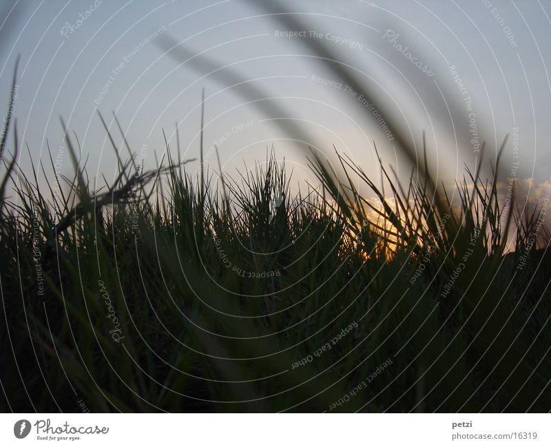 Sunset in the grass Beach Grass Clouds Dusk tufts Sky