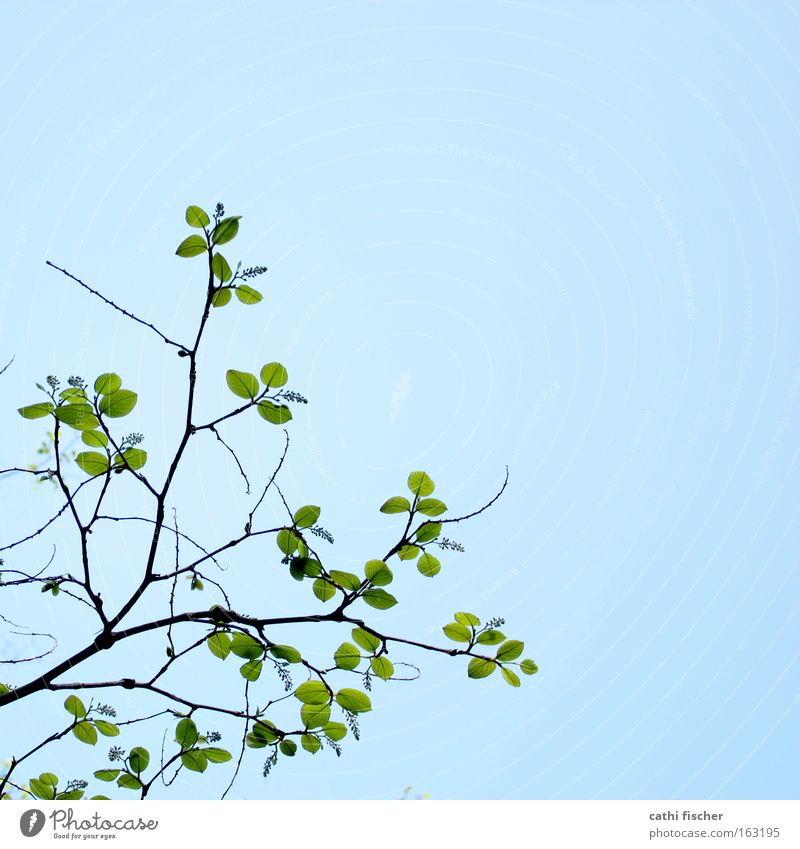 spring green Leaf Green Branch Twig Sky Blue Spring Bud Leaf bud Blossoming Decent Nature Brown Colour