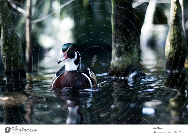 Water Tree Lake Bird Coast River Lakeside Brook Duck River bank Drake Mallard Mangrove