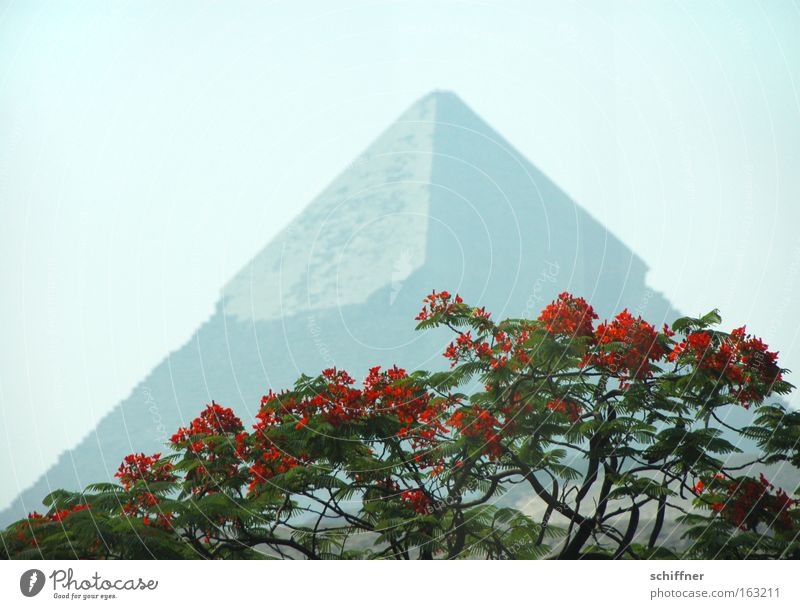 fata morgana Pyramid Egypt Giza Cairo Pharaohs Blossom Tree Acacia Red Far-off places Point Africa Cheprene Seven Wonders of the World flowering tree