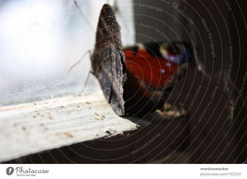 Blue White Red Black Window Derelict Butterfly Hut Window pane Dust Feeler Window frame Peacock butterfly