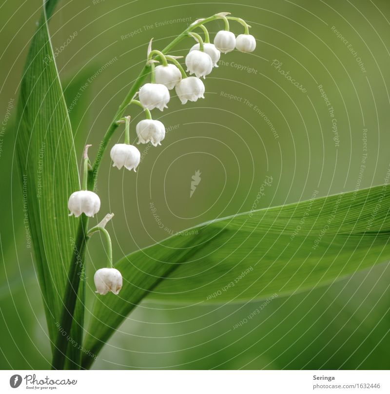 Lily of the valley ( Convallaria majalis ) Nature Plant Animal Spring Wild plant Park Forest Blossoming Fragrance Poison Colour photo Multicoloured