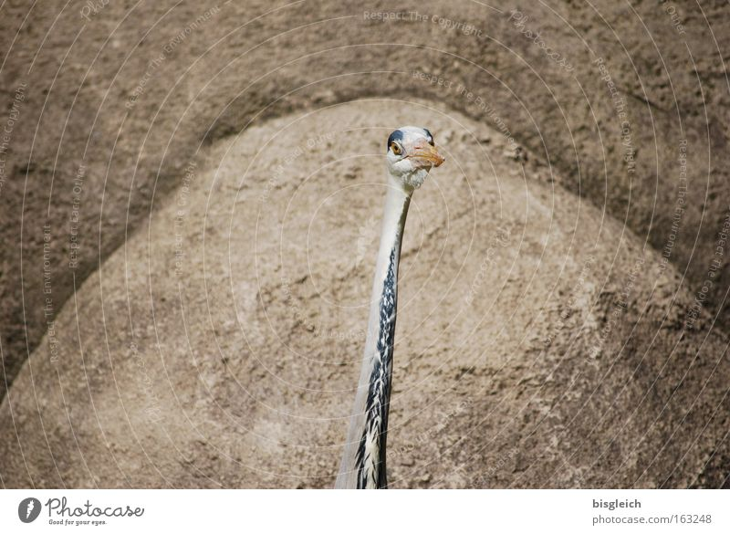 Beautiful Eyes Animal Head Brown Bird Rock Thin Concentrate Neck Beak Narrow Heron
