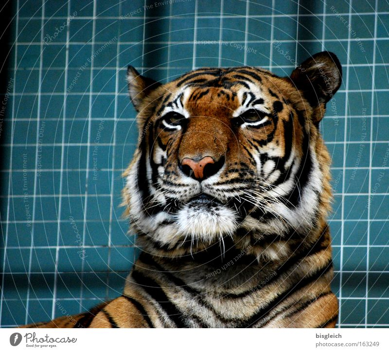 tiger Colour photo Interior shot Deserted Artificial light Animal portrait Wild animal Cat Tiger 1 Stripe Power Concentrate Grating Head Ear Eyes Tile Captured