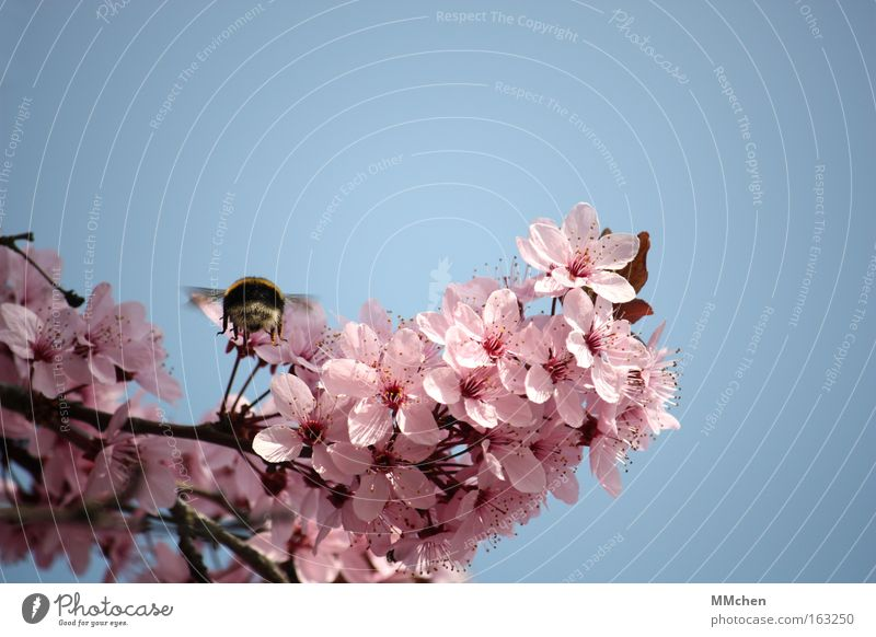 landing approach Pink Blossom Blossoming Branch Tree Bumble bee Air show Flying Insect Spring Park