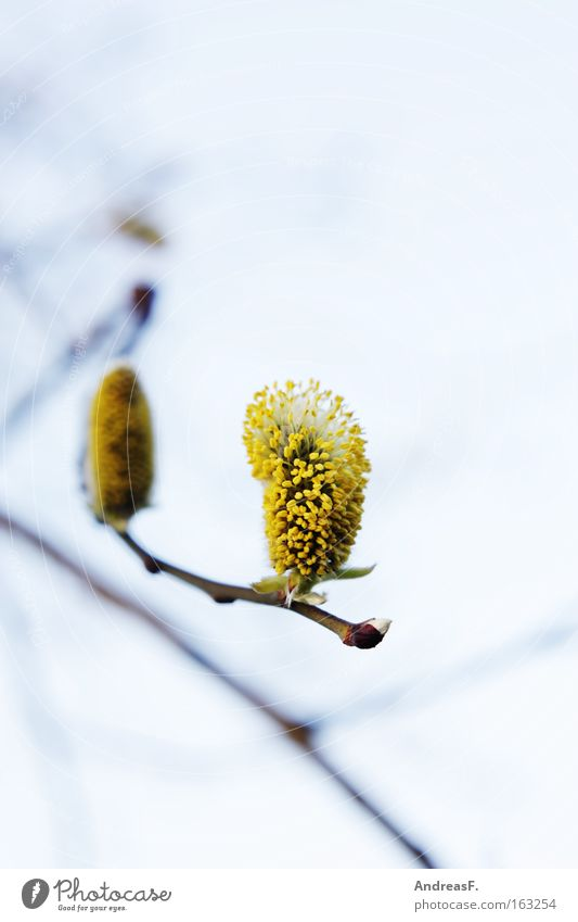 Spring Blossom Branch Twig Bud Willow tree Willow-tree Pollen Leaf bud Catkin