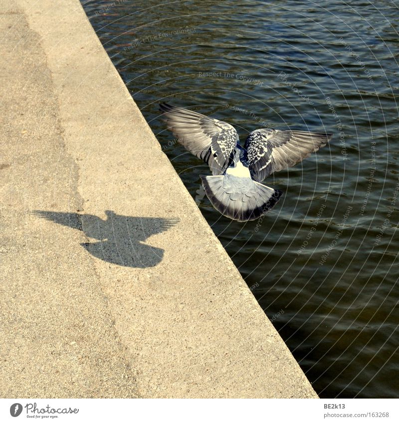 Withdrawn Pigeon Gray Bird Easy Beautiful Water Wet Blue Deep Coast Sand Long Lakeside Stony Overgrown River bank Shadow Feather Flying Aviation Waves Corner
