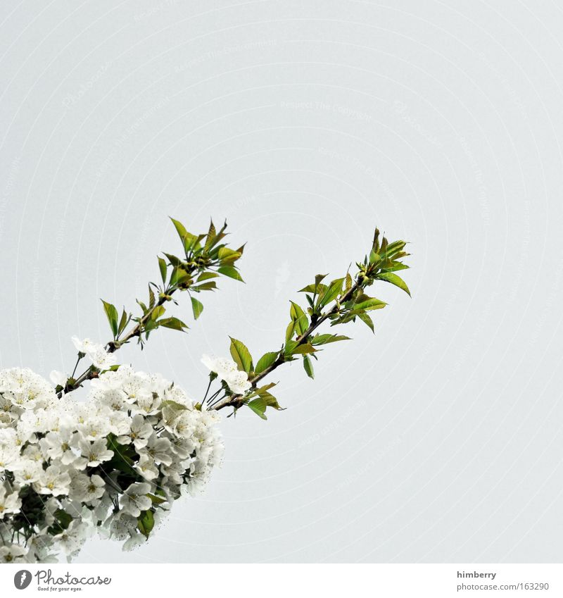 Nature Beautiful Sky White Tree Flower Green Plant Blossom Spring Gray Park Fresh Esthetic Growth Clean