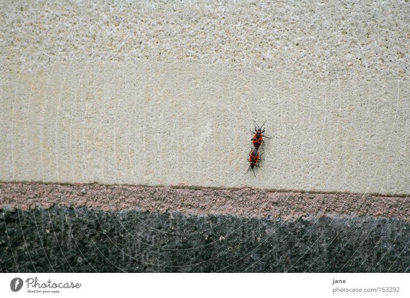 Beetle Propagation Bug Accessible Firebug Nymph Black-red Hemipteron Fire-colored beetle