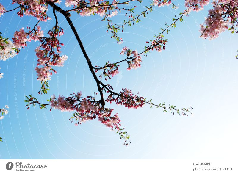 Sky Blue Sun Spring Blossom Pink Branch Cherry Cherry blossom Cherry tree Fruit trees