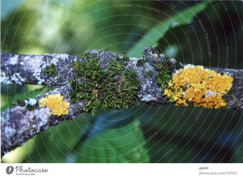 Branch with lichens Brittle Gray Green Yellow Leaf Bond