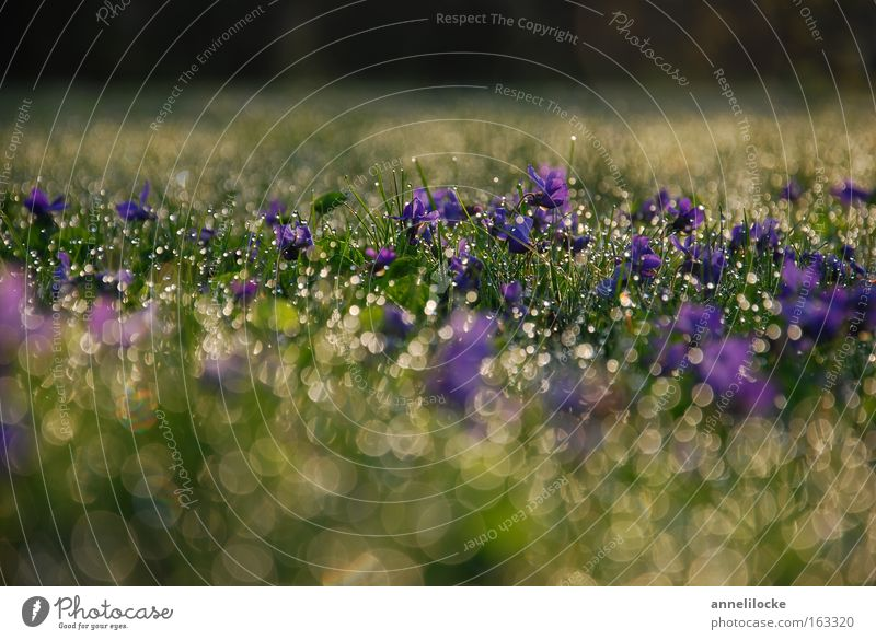 Plant Water Blossom Spring Meadow Grass Rain Fresh Drops of water Wet Lawn Delicate Fragrance Violet Violet plants