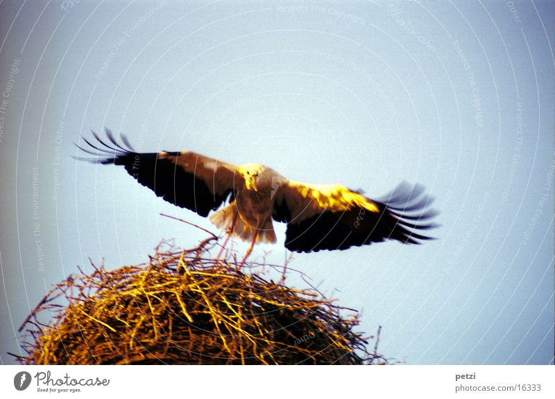 Stork approaching Nest Beak Nest-building Black White Sun Light twigs extended wings Wing Feather Twig Gold