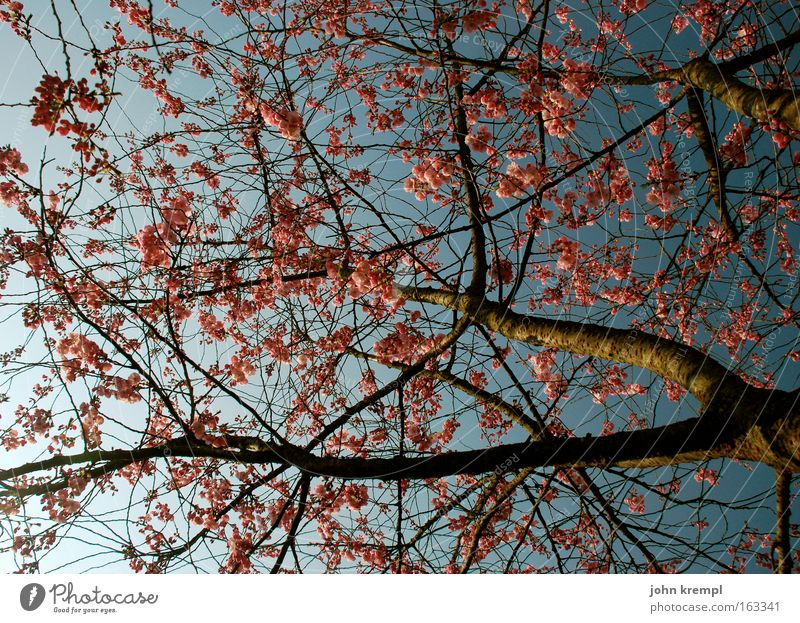 gertrud with bischi raspberryoni Ornamental cherry Tree Blossom Spring Life Cherry Blossoming Twig Park