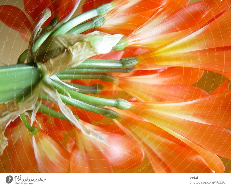 Clivia in full bloom Bush lily Flower Stalk Blossom Green Light Play of colours Orange full splendour