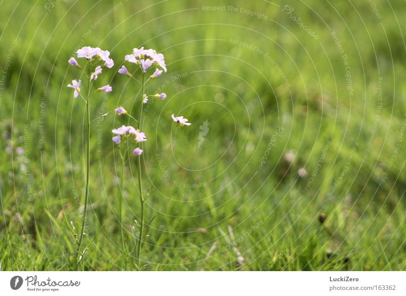 Nature Plant Green Summer Flower Meadow Grass Spring Blossom Pink Fresh Beautiful weather Delicate Crucifer Ladys smock