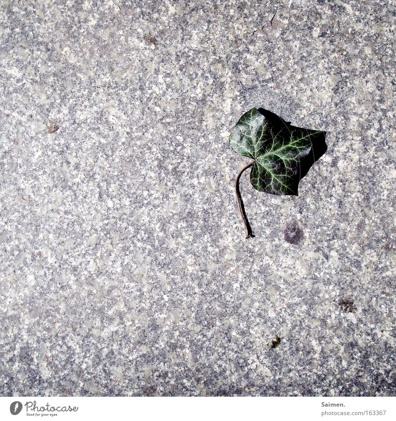 ivy Shadow Contrast Nature Plant Spring Ivy Leaf Stone Green Death Loneliness Feeble Transience Paving stone Minerals