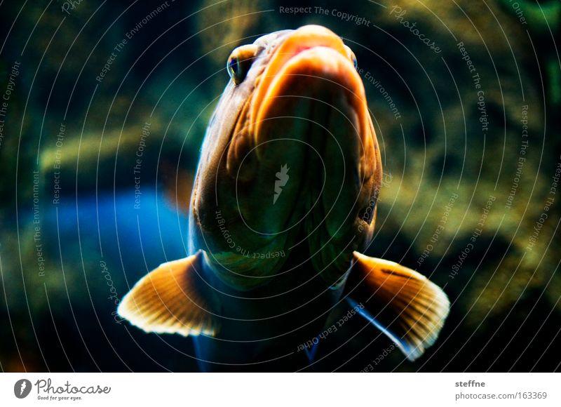 I'm risking a big lip! Fish Muzzle Lips Fin Orange Aquarium Perches Appetite Maritime Lake Ocean