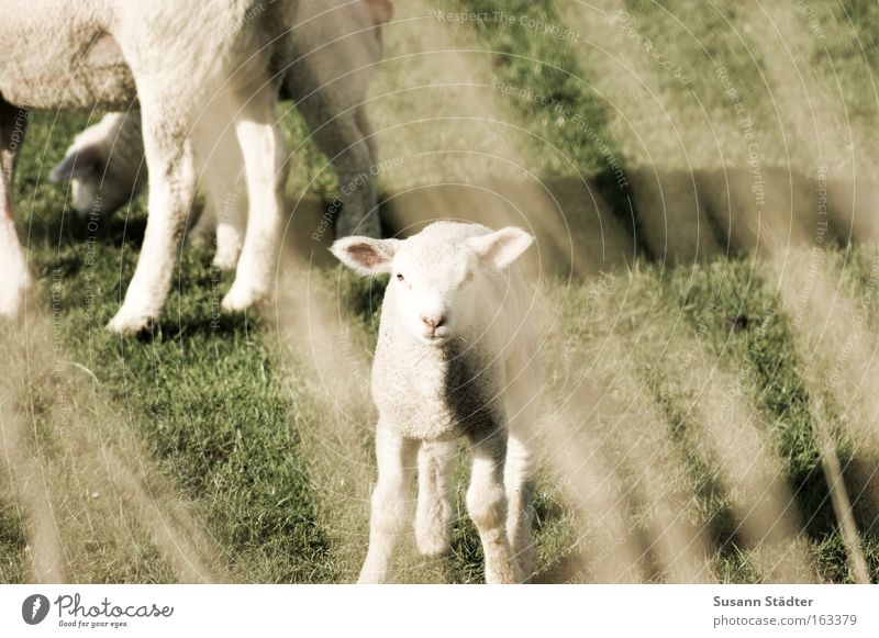 late Easter lamb Lamb Sheep Grumble Goats Meadow To feed Looking Stupid Small Herd Dike North Sea North Sea coast Ocean Spring Wool Agnus Dei Wait Soft Mammal