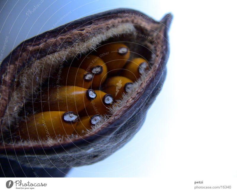 White Brown Orange Fruit Seed Crack & Rip & Tear Bowl Hard Burst Husk