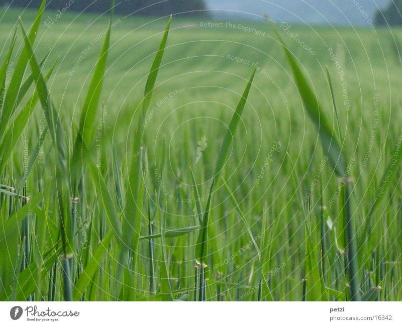 Grain field in spring Spring Field Blade of grass Green Immature Blur