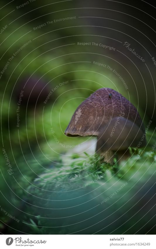 Mushroom season is open Environment Nature Plant Earth Summer Autumn Moss Forest Brown Green Mushroom cap Woodground Sprout Colour photo Subdued colour