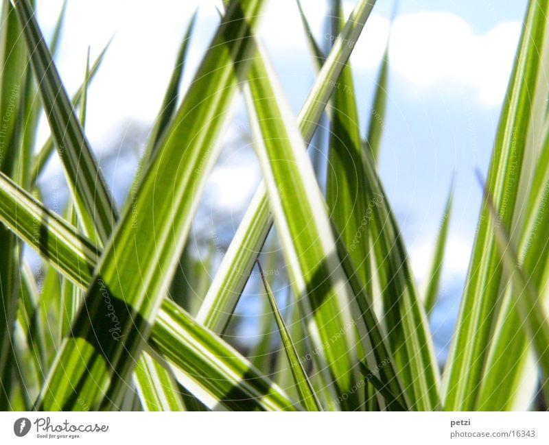 striped grass Grass Line Dark Green White stiffeners Bright Sky Blur