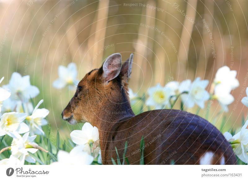 Freedom Peace Asia China Mammal Hard Deer Roe deer Chinese Bambi