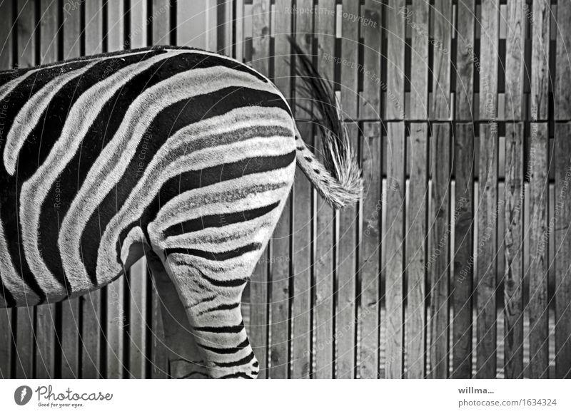 Half a zebra on patrol Zebra Wild animal Zoo Black White Striped crypsis Camouflage Hip & trendy somatolysis Adjustment Hind quarters Wooden fence