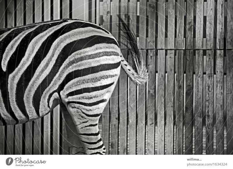 The zebra leon. Sw. Zebra Wild animal Zoo Black White Striped crypsis Camouflage Hip & trendy somatolysis Adjustment Hind quarters Wooden fence Graphic