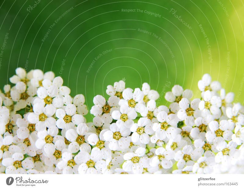Sea of Flowers Blossom White Border Direct Botany Plant Spring Background picture Decoration Green Yellow Pastel tone Mother's Day