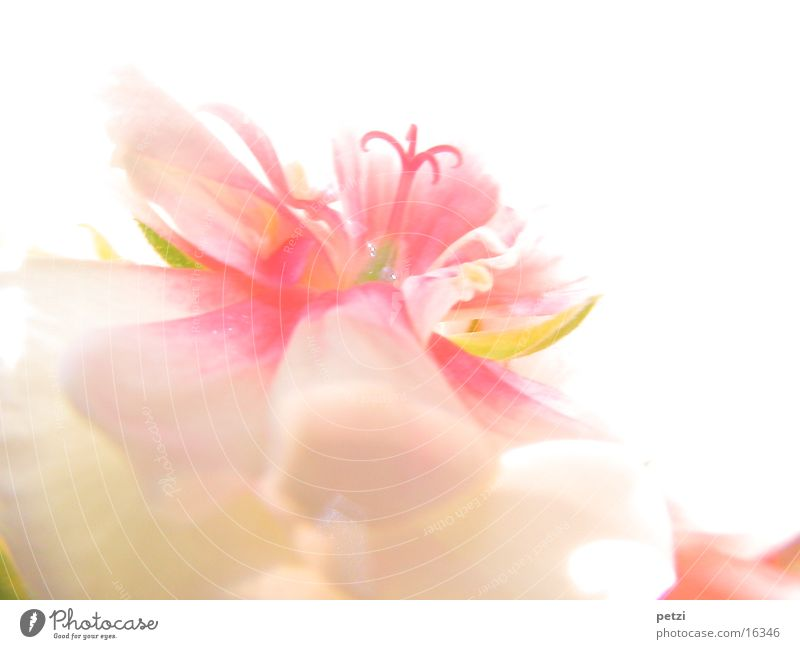 Delicate blossom Blossom Pink White Fine Shaft of light petals Middle yellowish-green Colour photo Multicoloured Exterior shot Macro (Extreme close-up)