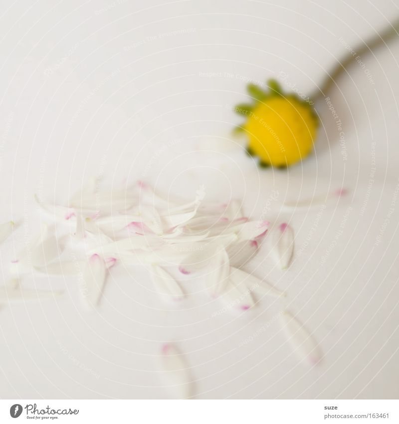 Nature White Plant Flower Emotions Small Blossom Moody Background picture Natural Hope Romance Delicate Joie de vivre (Vitality) Daisy Partner
