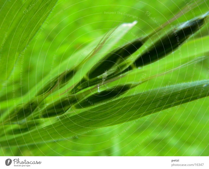 Leaf Blade of grass Seed Ear of corn Shade of green